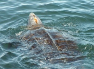 Leatherback at Water Surface-NOAA