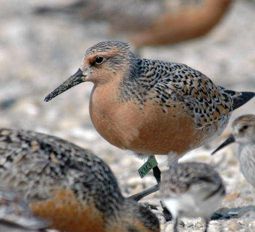 Red Knot adult in breeding plumage with green band