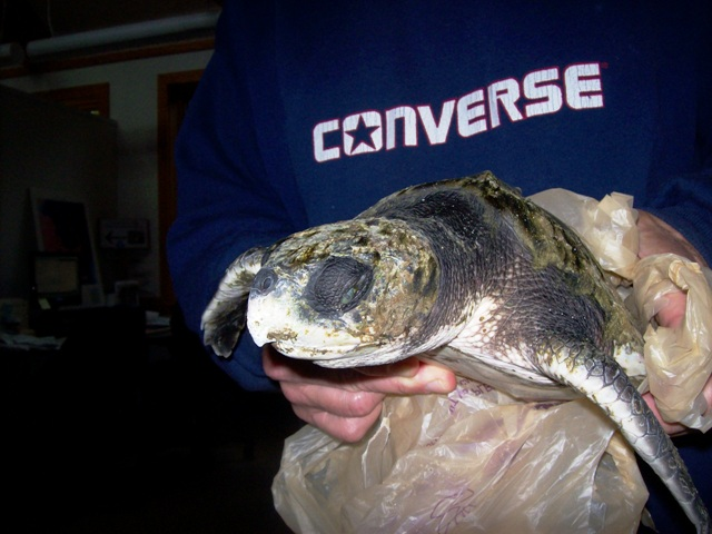 Turtle Rescued from Jeremy Point_Wellfleet2