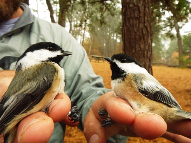 James Junda with two banded Chickadees