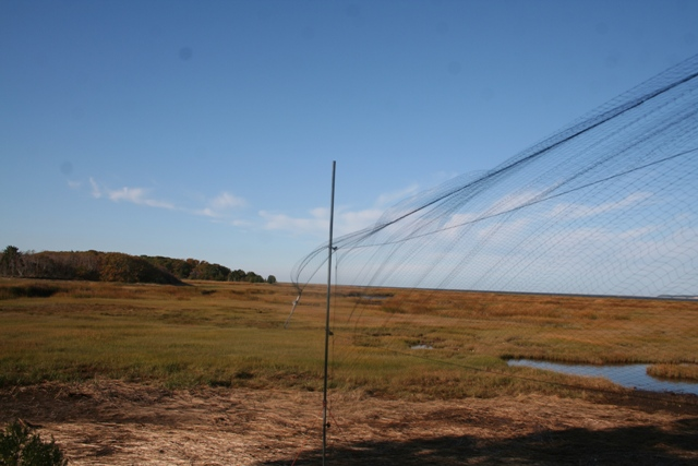 One of 16 mist nets used for bird banding at Wellfleet Bay (photo by James Junda)