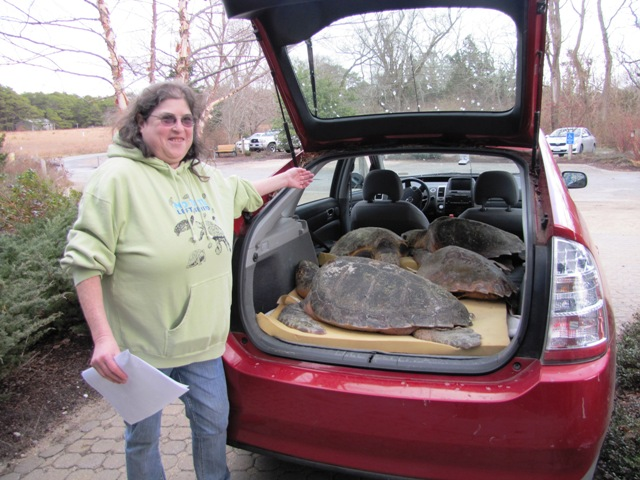 Karen packs her car with sea turtles bound for the New England Aquarium in Quincy.
