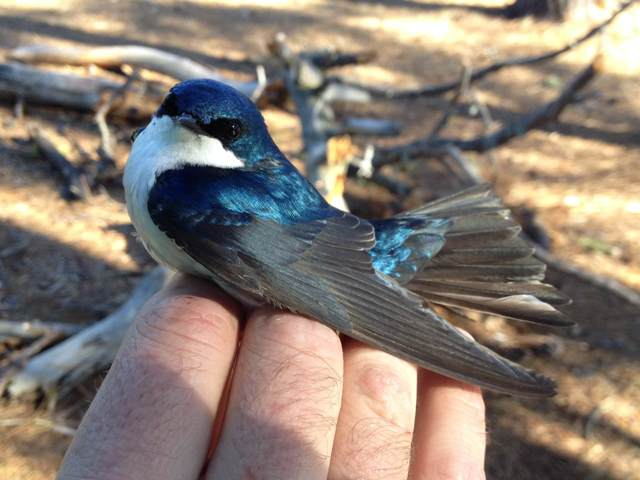 Male Tree Swallow (photo by Aya Rothwell)