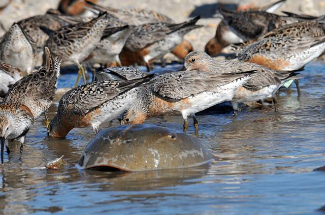 Red Knots feeding on horseshoe crab eggs at Delaware Bay (photo by Greg Breese, USF&W)