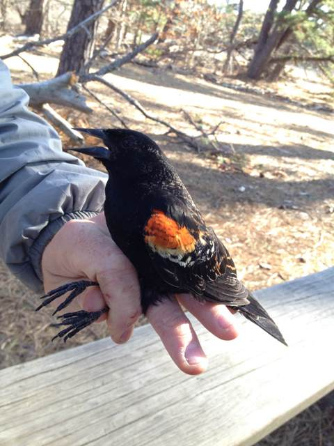 Second year male red-winged blackbird (photo by Aya Rothwell)