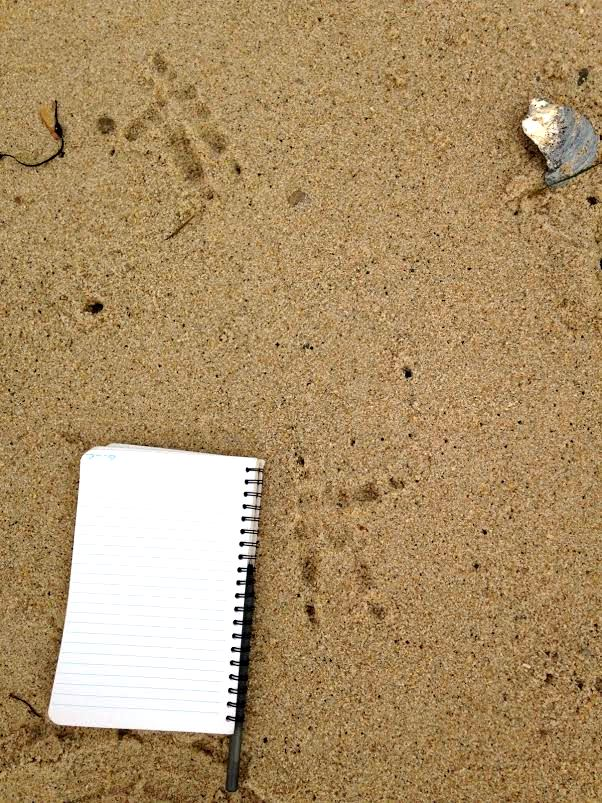 Great Horned Owl tracks at Truro's Fisher Beach