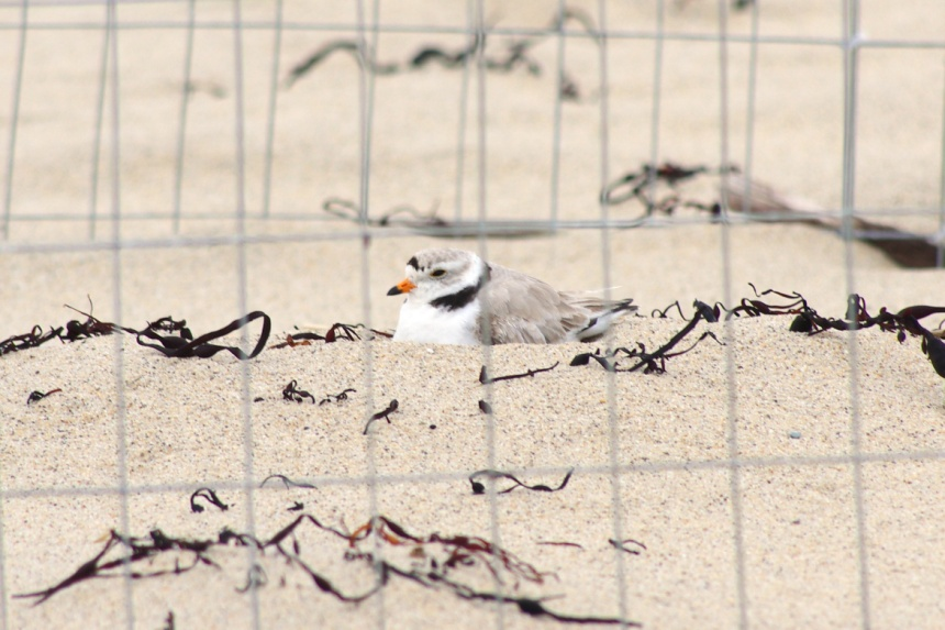 Piping Plover incubates a nest (photo by Rachel Smiley)