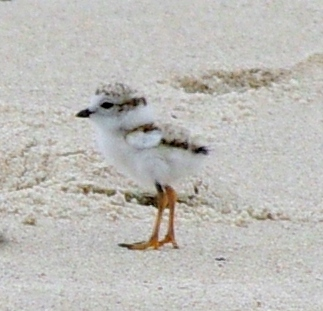 Piping Plover Chick at Brewster's Crosby Landing (photo by Rachel Smiley)