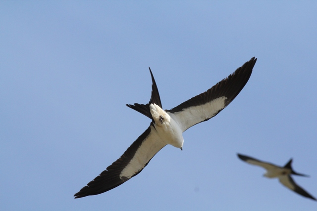 Swallow-tail Kite, April 24, 2015 (photo by Don Manchester)