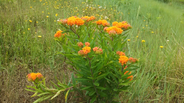 Butterfly Weed in Orleans, Karl Goldkamp