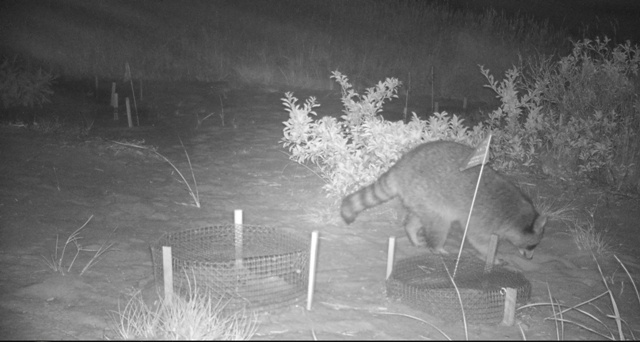Raccoon inspects turtle garden (WBWS)