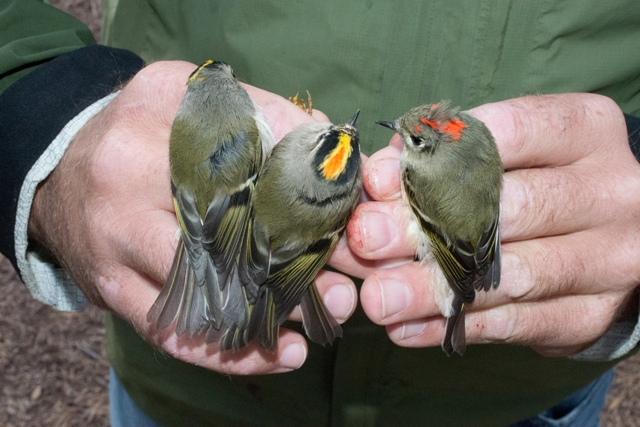 A kinglet collection from left to right: female golden-crowned, male golden-crowned, male ruby-crowned (by Dan Lipp)