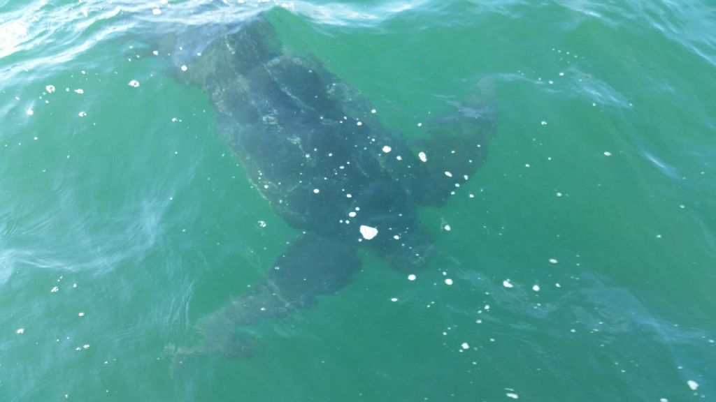 Free swimming leatherback in Nantucket Sound. We love these kinds of sightings! (photo courtesy of )