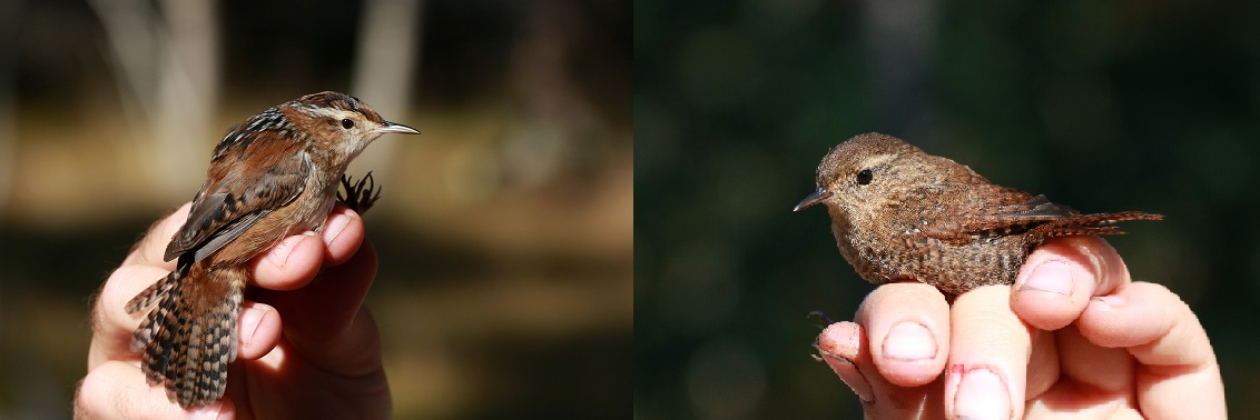 The eyes of the Marsh Wren, at left, are smaller than those of the Winter Wren, at right (photo by Elora Grahame)