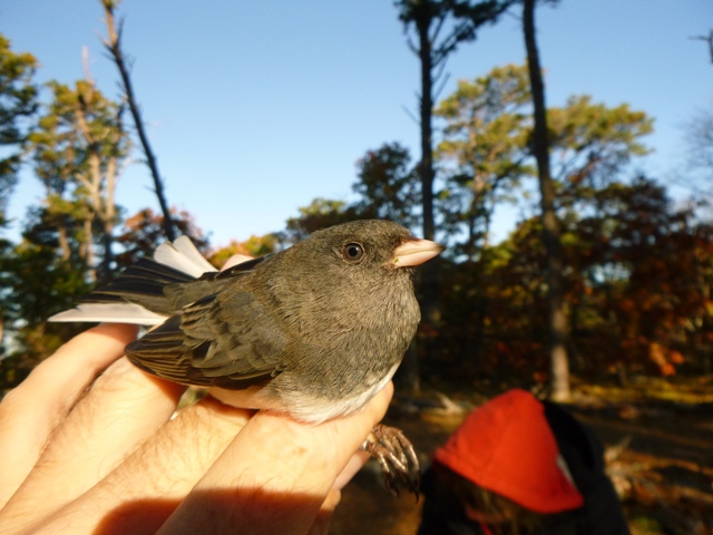 Dark-eyed Juncos breed in Canada and some spend winter in relatively balmy Massachusetts (photo by Dan Lipp)