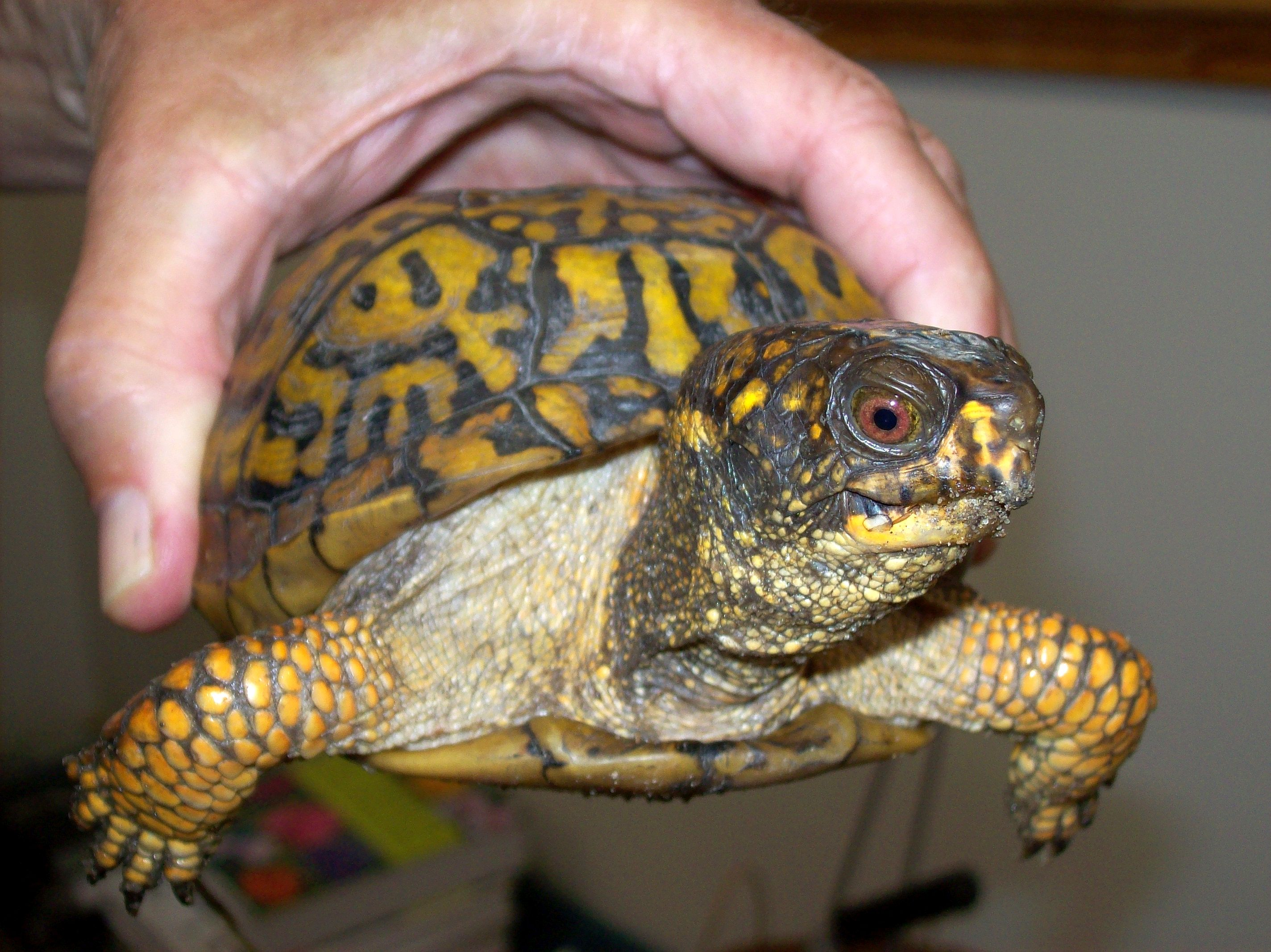 This turtle was first marked in 1989 when it was estimated to be at least 30 years old. It was seen again this past summer, so it's very likely more than 60 years old.