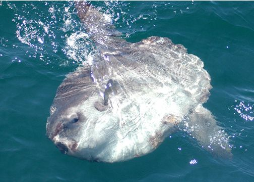 Ocean sunfish swim on their side and are often spotted on the water's surface. The dorsal fin can be mistaken for a shark's. (photo by Carol Krill Carson).