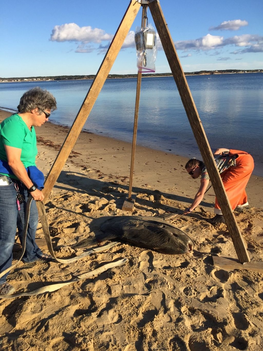 New England Coastal Wildlife Alliance founder Krill Carson (left) and student Barbara Cross weigh a beached ocean sunfish in Wellfleet
