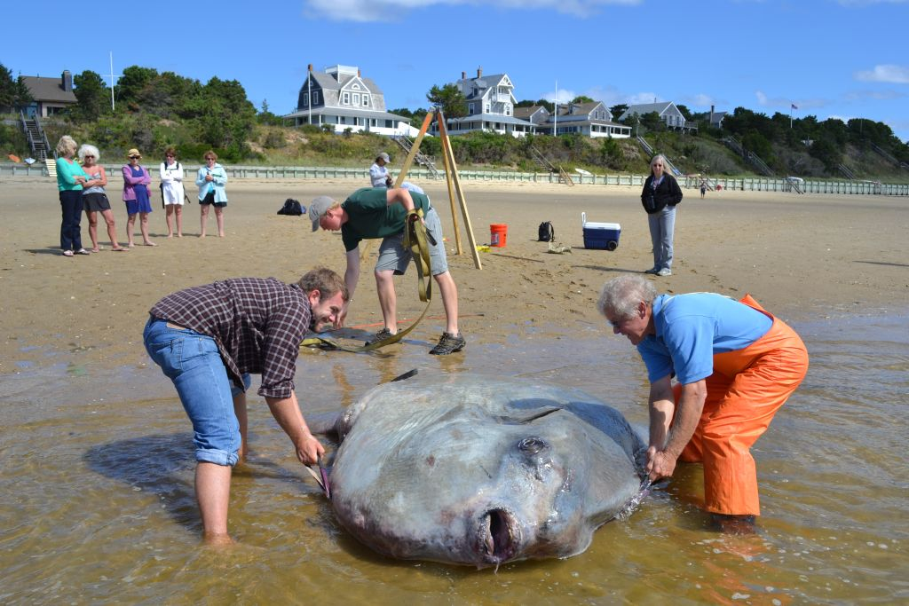 This ocean sunfish stranded at Wellfleet's Mayo Beach in September of 2012. As you can see, it was not an easy animal to move. (photo by Spring Beckhorn).