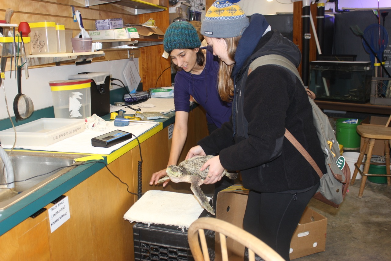 Alex helps turtle team member Elora Grahame (left) weigh a ridley