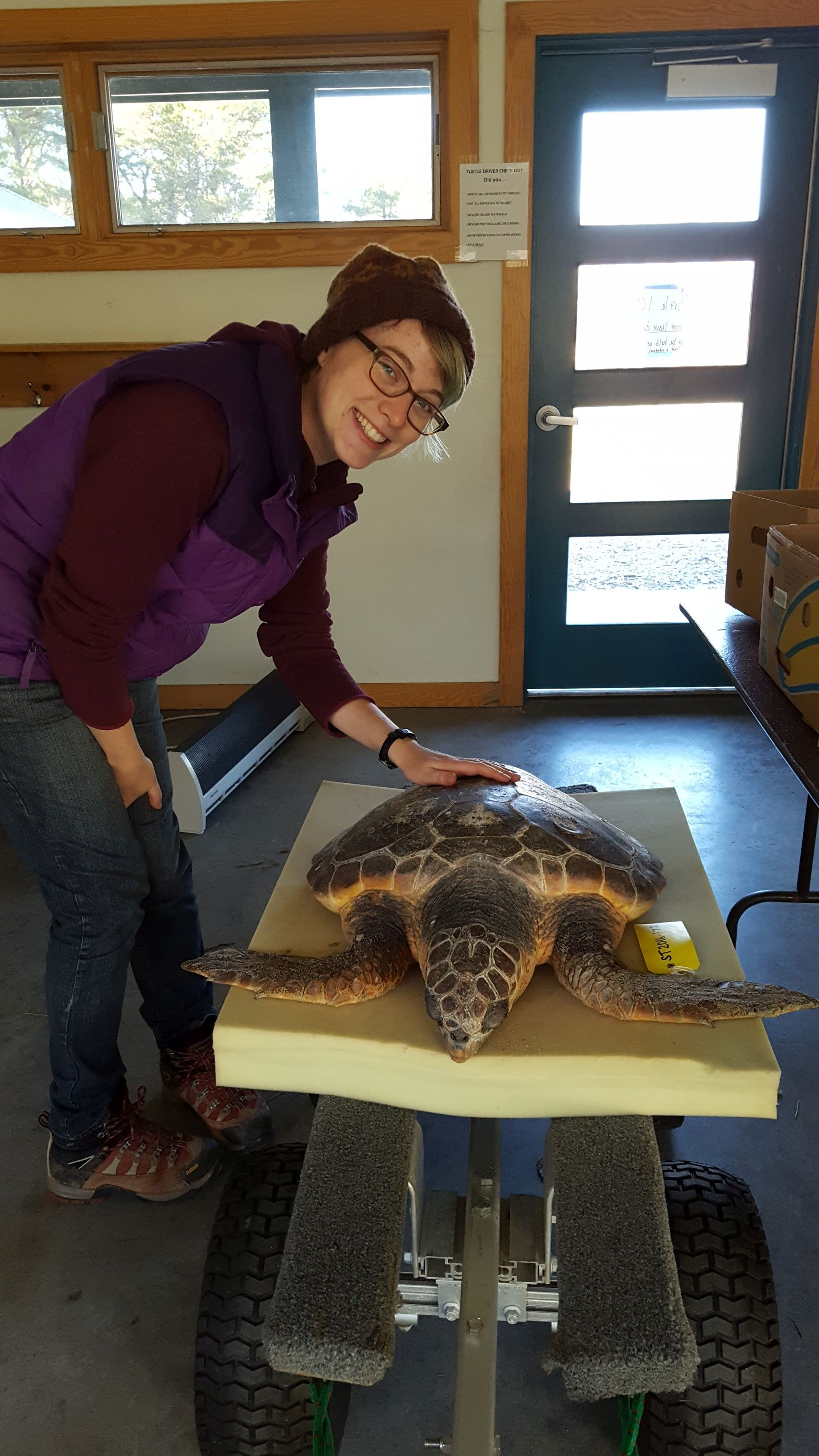 Rebecca Shoer with one of the 8 young loggerheads rescued this fall. In all, 36 loggerheads have been retrieved from Cape beaches. (photo by Olivia Bourque)