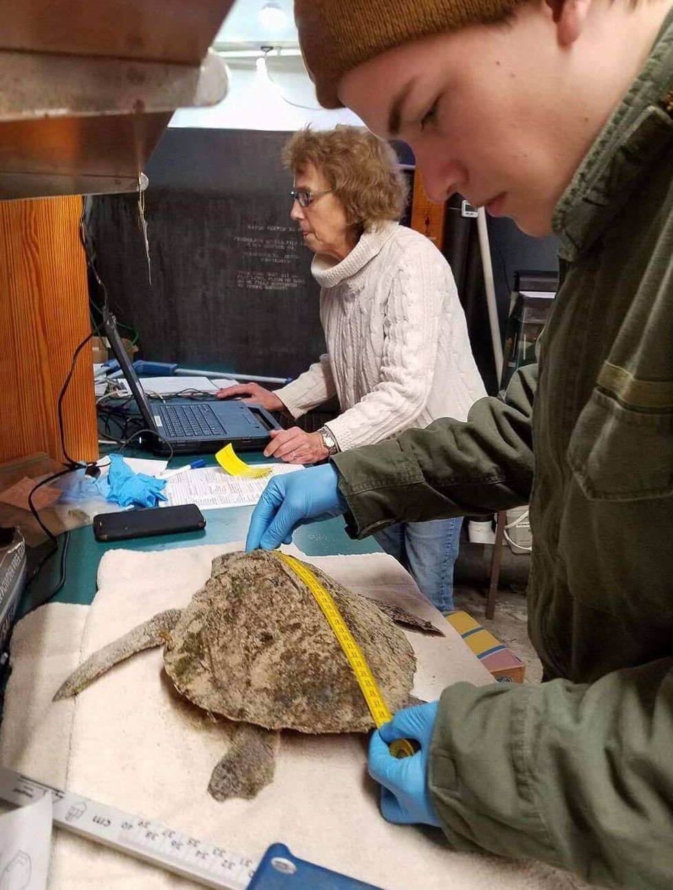 Getting measures of a cold-stunned Kemp's ridley.
