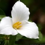 trillium-flower-12