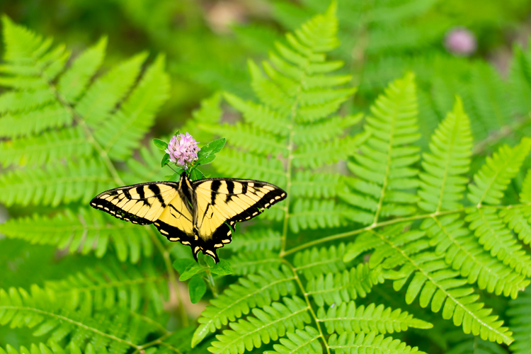 A lovely Tiger Swallowtail butterfly
