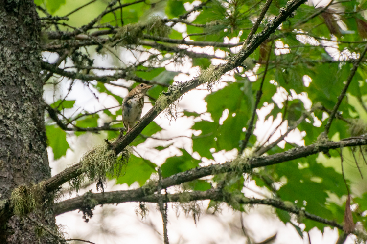 This Wood Thrush seemed to want to try the zipline, too