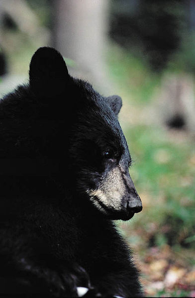 American Black Bear via U.S. Dept. of Transportation