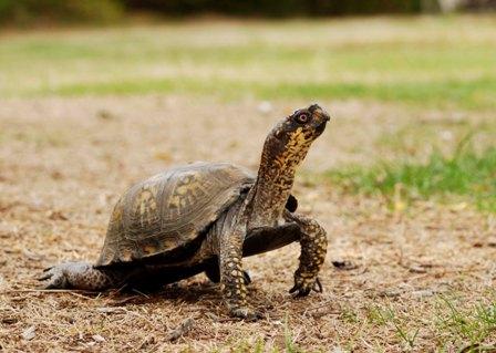 Eastern box turtle by Joy Marzolf