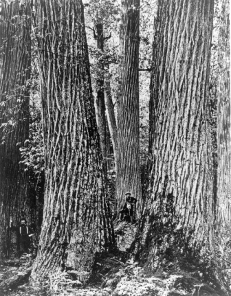 What Happened To The American Chestnut Your Great Outdoors