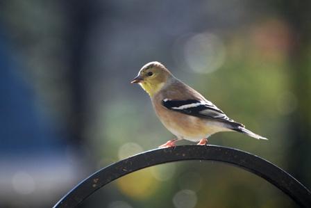 American Goldfinch Winter Valerie Reneé via flickr