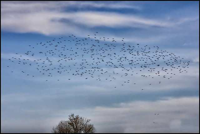Starlings via Pat Dalton