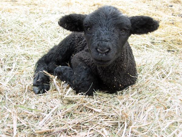 Lamb at Drumlin Farm