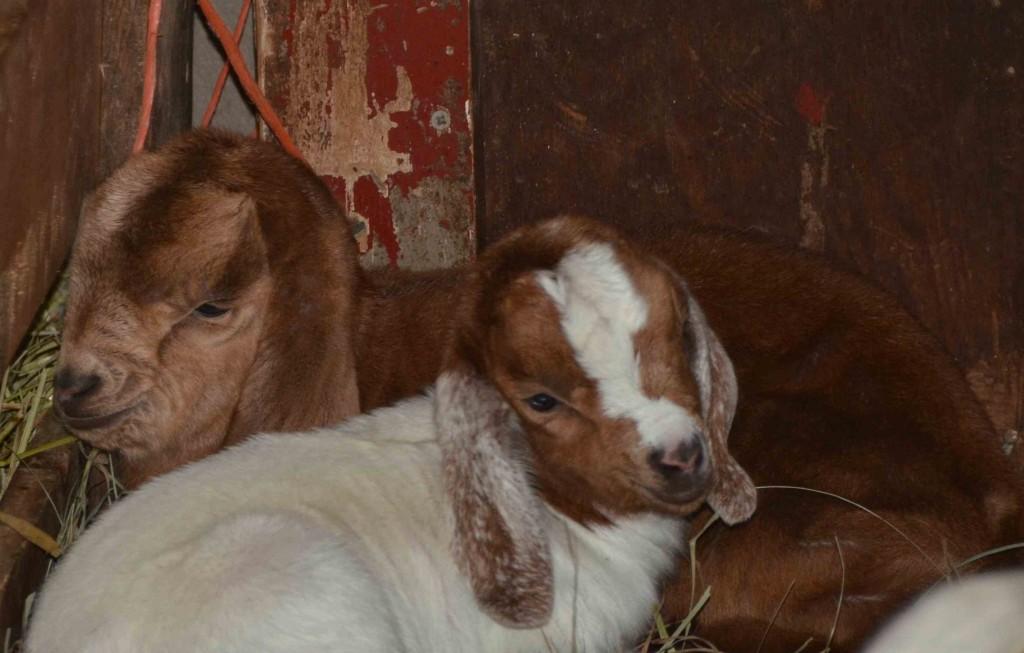 Baby goats at Drumlin