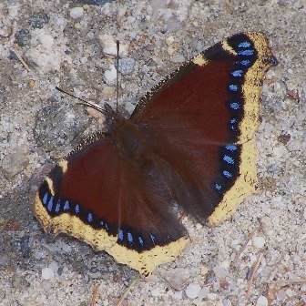 Mourning cloak copyright Frank Model
