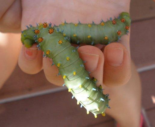 Cecropia Caterpillars - Cara Yacino