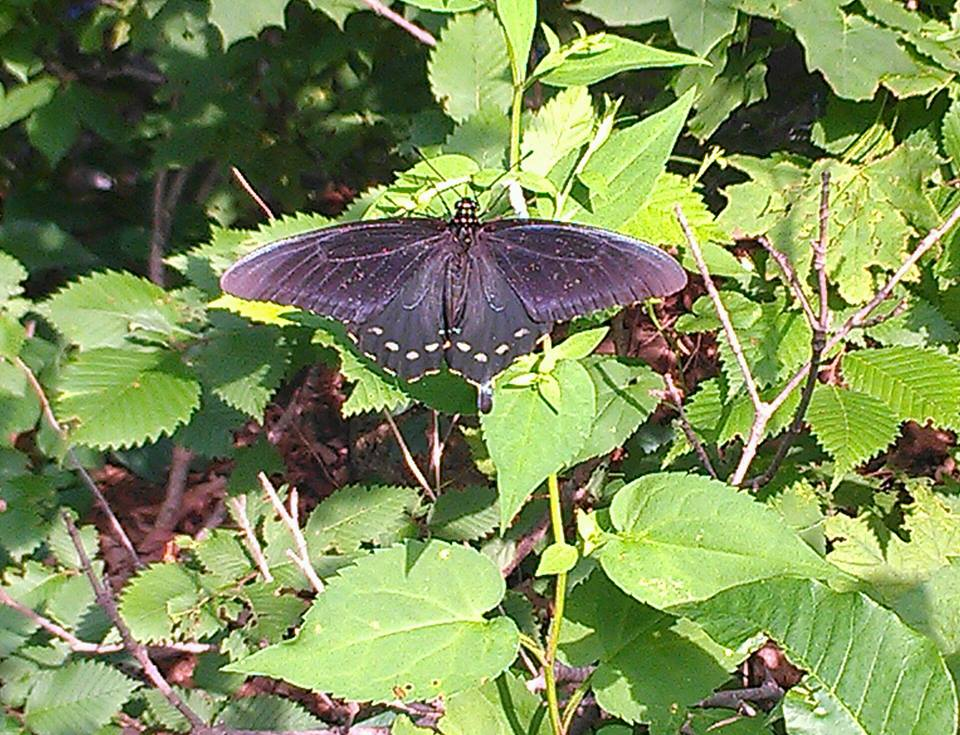 Pipevine Swallowtail via Lisa Daley-Bromberg