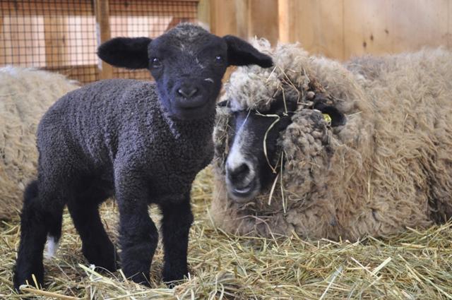 Drumlin First Lambs
