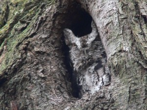 Eastern screech owl, Copyright Richard Johnson