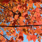 Red Maple NPS/Alicia Lafever