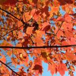 Red Maple NPS/Alicia Lafever