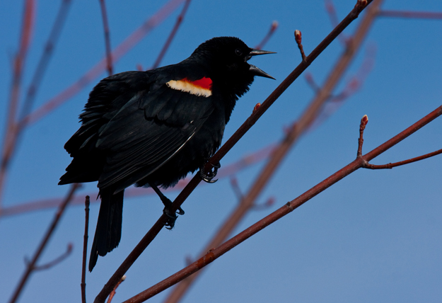 Red-winged blackbird copyright Jacob Mosser