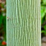 Striped Maple via Art Poskanzer