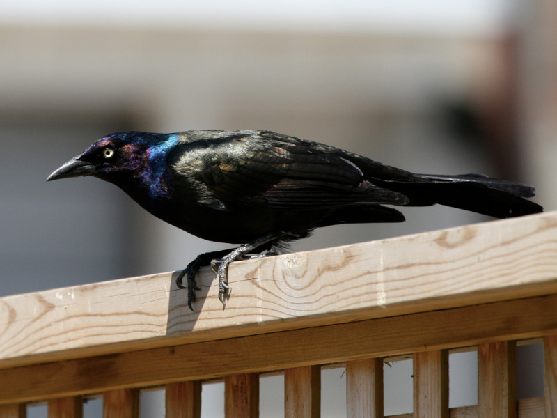 Raven vs crow vs grackle - photo#4