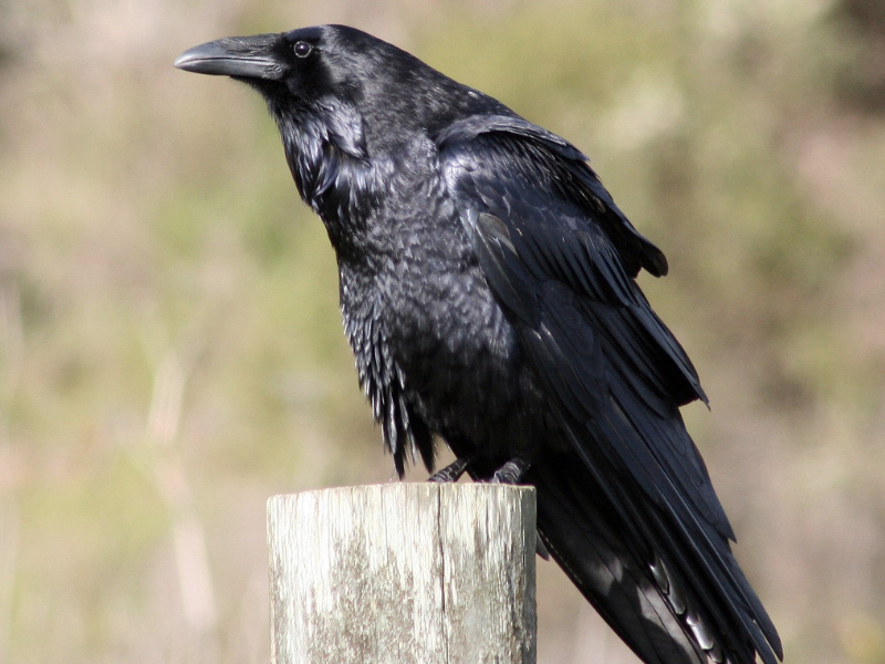 Raven Crow Or Grackle How To Tell The Difference Your Great