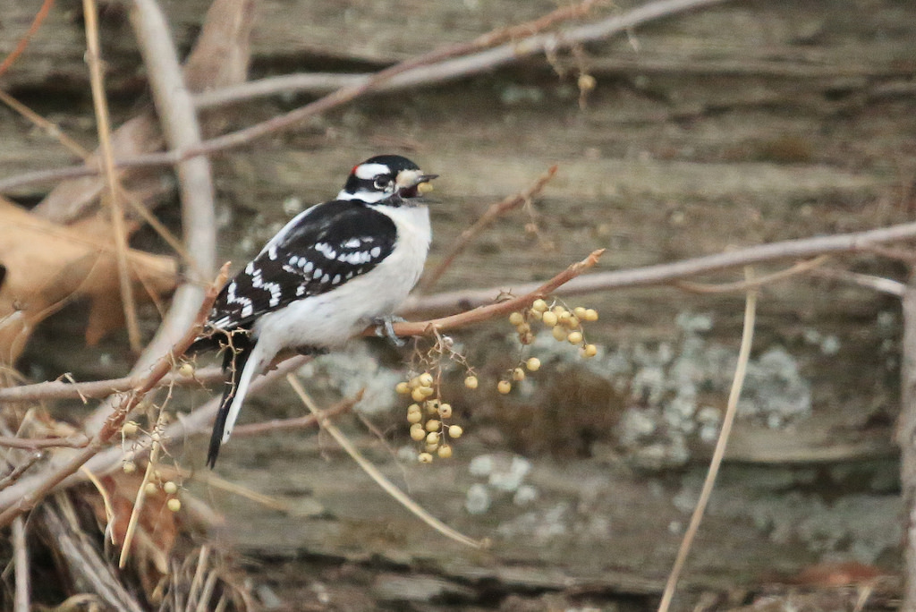 A downy woodpecker eats poison ivy berries. Tim Lenz, Flickr user seabamirum.