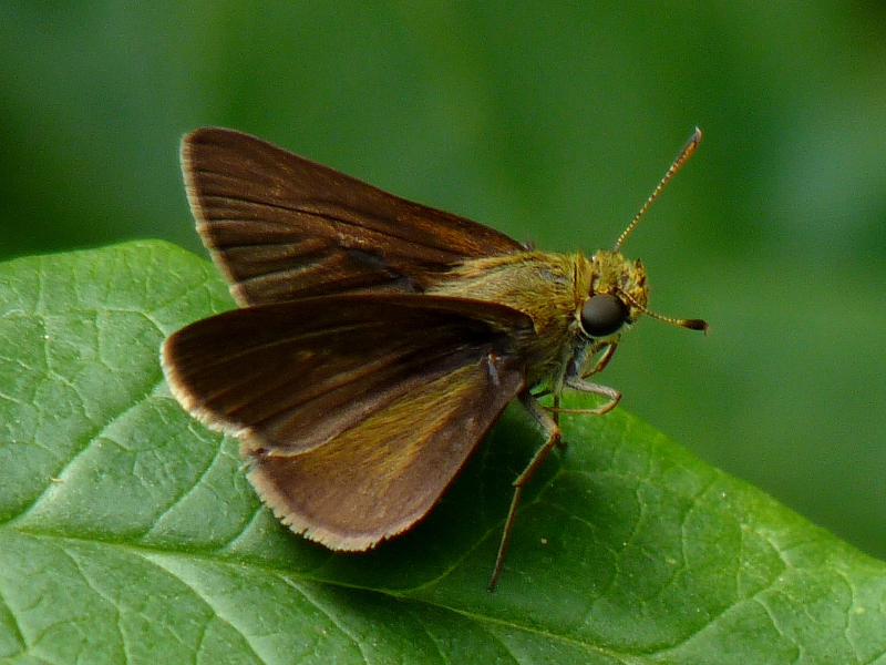 Dun skipper via John Beetham/Flickr