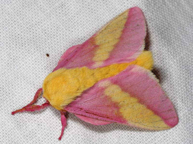 Rosy maple moth via Patrick Coin/Flickr